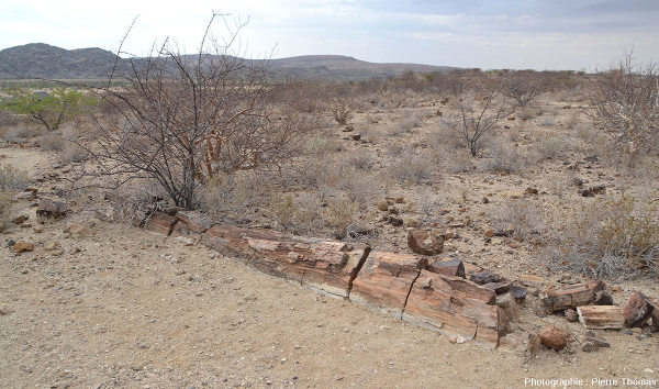 Vue sur un beau tronc silicifié couché, Damaraland, Namibie