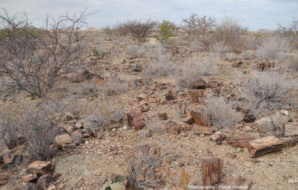 Vue depuis un sentier montrant l'abondance des fragments de troncs silicifiés jonchant la steppe arborée du Petrified Forest National Monument, Damaraland, Namibie