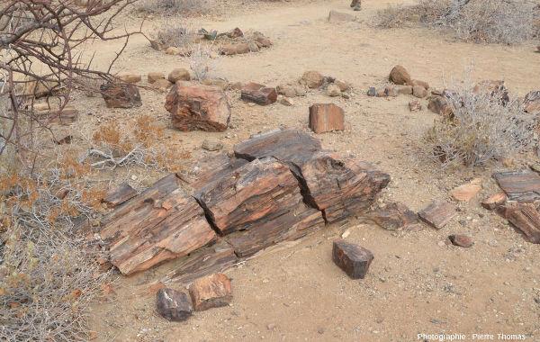 Vue d'ensemble sur un fragment de tronc silicifié montrant bien la structure du bois et un très beau nœud (départ d'une branche) près de l'extrémité droite, Namibie
