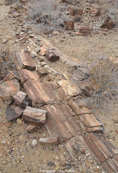 Vue d'ensemble d'une coupe longitudinale d'un tronc silicifié dans le Petrified Forest National Monument, Damaraland (Namibie)