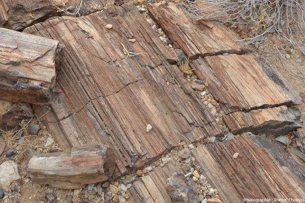 Vue de détail d'une coupe longitudinale d'un tronc silicifié dans le Petrified Forest National Monument, Damaraland (Namibie)