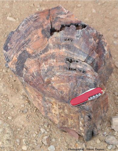 Vue d'ensemble d'une coupe transversale d'un tronc silicifié, Petrified Forest National Monument, Damaraland (Namibie)
