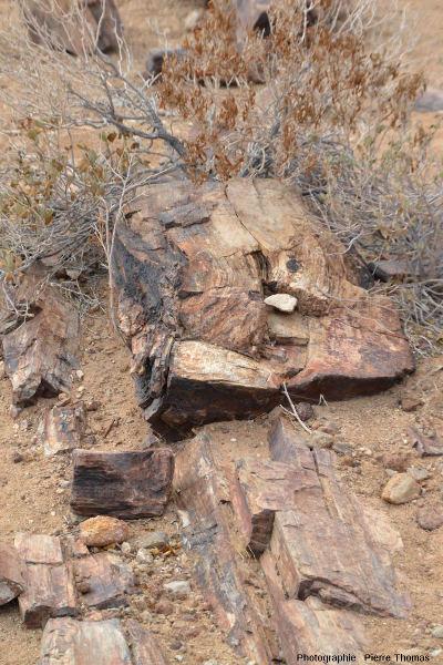 Vue d'ensemble d'un tronc permettant de bien voir les couches annuelles de la croissance en épaisseur du tronc, Namibie
