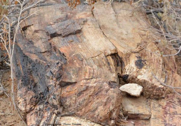 Vue de détail d'un tronc permettant de bien voir les couches annuelles de la croissance en épaisseur du tronc, Namibie