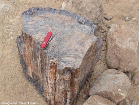 Vue d'ensemble d'une coupe transversale permettant de bien voir les cernes annuels de la croissance en épaisseur d'un tronc aujourd'hui silicifié, Damaraland (Namibie)