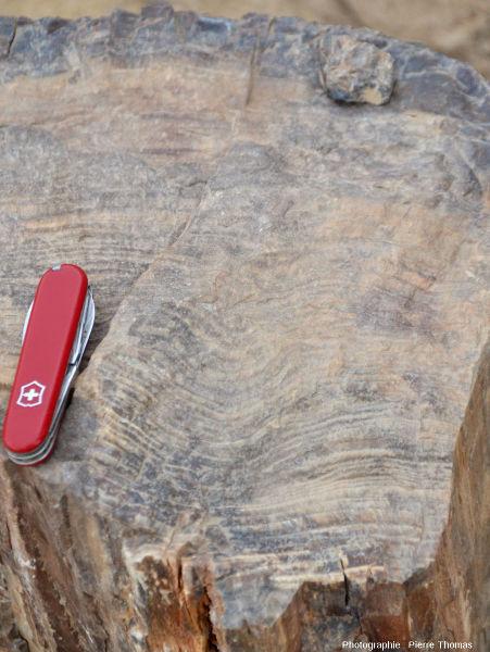 Vue de détail d'une coupe transversale permettant de bien voir les cernes annuels de la croissance en épaisseur d'un tronc aujourd'hui silicifié, Damaraland (Namibie)