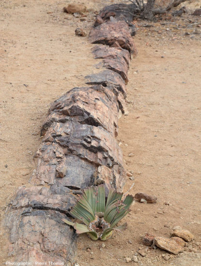 Jeune Welviltschia mirabilis poussant juste à côté d'une gymnosperme fossile du Permien, Petrified Forest National Monument, Damaraland (Namibie)