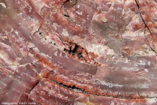 Détail d'une coupe transversale d'un tronc silicifié, Arizona