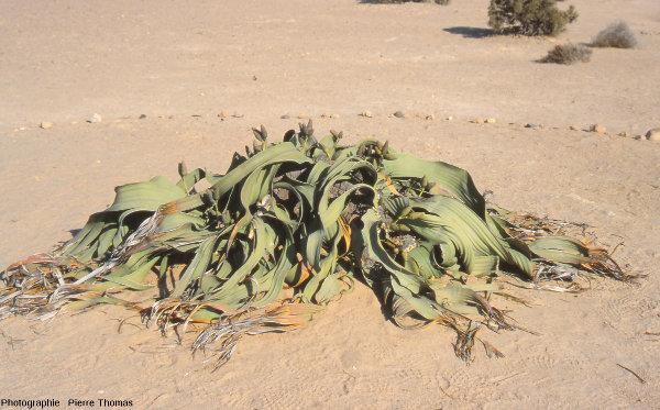 Welwitschia mirabilis au milieu du désert namibien
