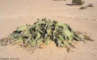 Welwitschia mirabilis, une Gnétale unique du désert de Namibie