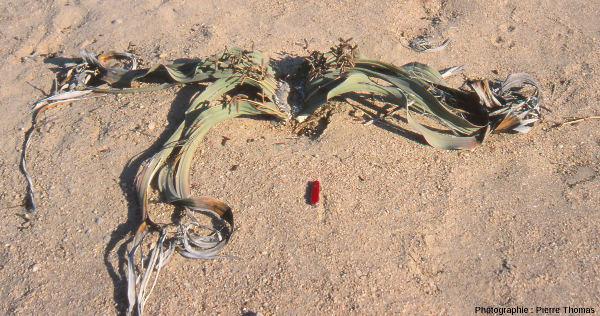 """Détail d'un """"jeune"""" plant de Welwitschia mirabilis"""