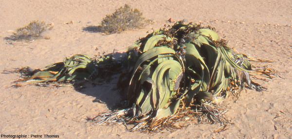 Détail d'un plant de Welwitschia mirabilis