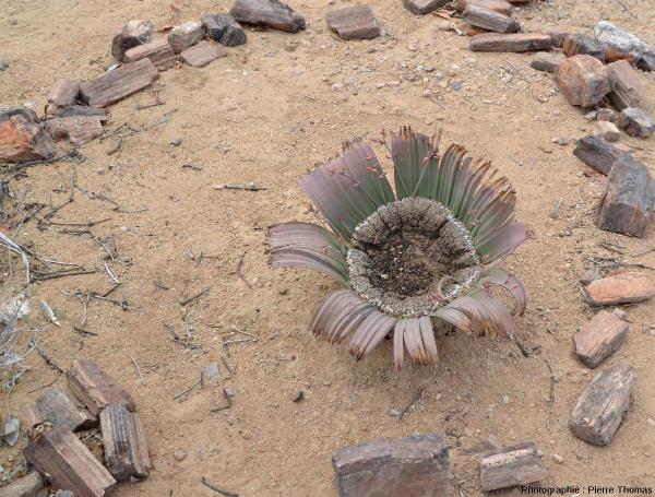 Détail de la zone de croissance d'un plant de Welwitschia mirabilis