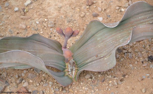 Jeune pied femelle de Welwitschia mirabilis avec strobiles femelles