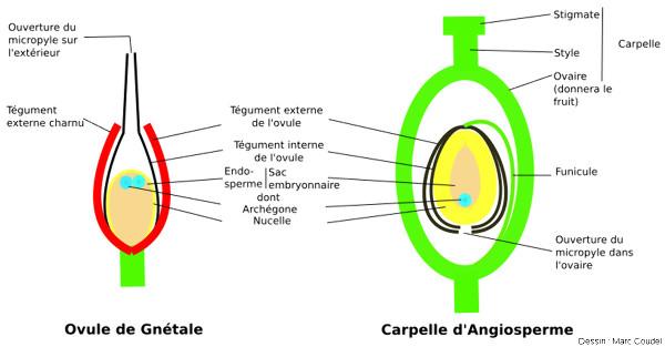 Schéma comparatif entre les ovules de Gnétales et le gynécée d'une Angiosperme