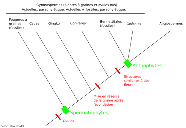 Classification traditionnelle (et erronée) des plantes à graines et ovules basée sur des caractères morphologiques