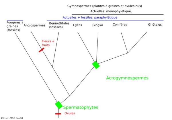 Classification actualisée des Spermatophytes basée sur des phylogénies moléculaires