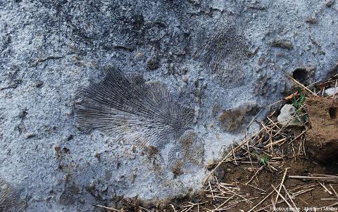 Admirer le paysage de ces Tsingy ne dispense pas de regarder les roches... à coraux fossiles