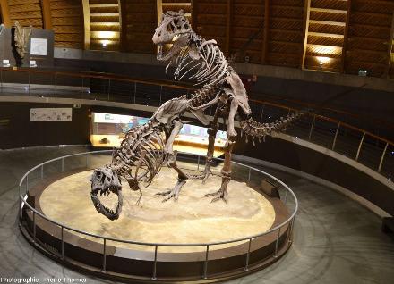 Squelettes de tyrannosaures (Tyrannosaurus rex) remontés en position d'accouplement, Musée du Jurassique des Asturies (MUJA), Colunga, Asturies, Espagne