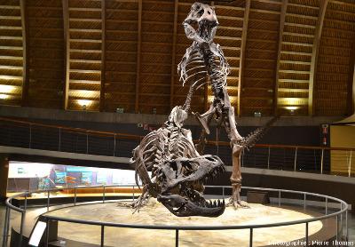 Tyrannosaures (Tyrannosaurus rex) remontés en position d'accouplement, vus par devant, Musée du Jurassique des Asturies (MUJA)