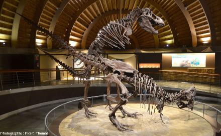 Tyrannosaures (Tyrannosaurus rex) remontés en position d'accouplement, vus par le côté droit, Musée du Jurassique des Asturies (MUJA)