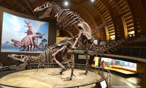 Tyrannosaures (Tyrannosaurus rex) remontés en position d'accouplement, vus par l'arrière gauche, Musée du Jurassique des Asturies (MUJA)