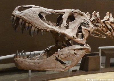 Détail du crâne et de la mâchoire du tyrannosaure femelle, Musée du Jurassique des Asturies (MUJA)