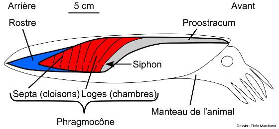 Schéma de la structure et de l'agencement du phragmocône au sein d'une bélemnite en coupe longitudinale