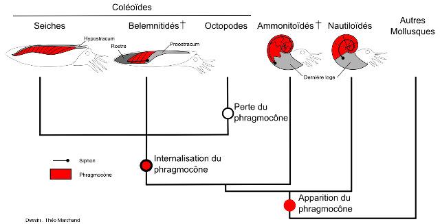Schéma de la diversité des phragmocônes au sein des céphalopodes