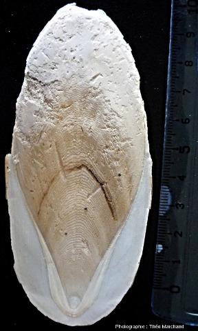 Un phragmocône actuel et facile à trouver: l'os de seiche (vue ventrale)