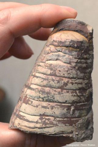 Phragmocône de bélemnite de belle taille