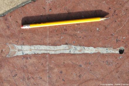 Fossile d'orthocère (Orthoceras sp.), nautiloïde droit du Paléozoïque (de l'Ordovicien au Permien)