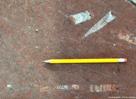"""Dalle de """"marbre"""" rouge avec trois fossiles d'orthocère"""