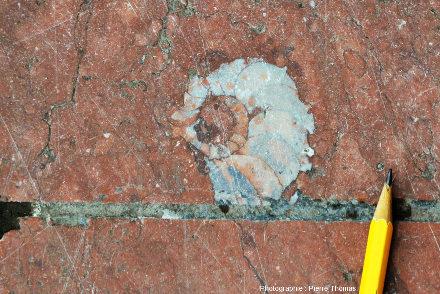 Céphalopode à coquille spiralée, vraisemblablement une goniatite, dalle du parvis de la gare de la Part Dieu, Lyon