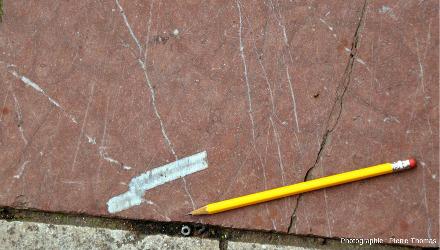 Coupe longitudinale d'un fragment de tige de crinoïde de 8cm de long et 13mm de large
