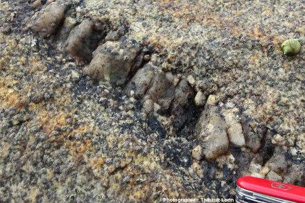 Détail d'un filon de pegmatite extrêmement étroit recoupant un granite, environs de Roscoff, Finistère