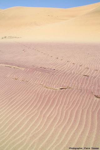 """Vue sur la partie supérieure des ripple marks """"actifs"""" de la bande rose située entre la ligne des hautes mers et la dune éolienne dépourvue de grenat"""