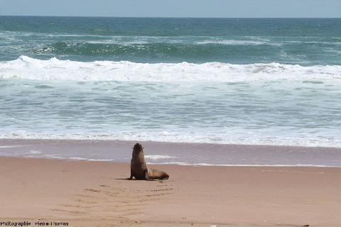 Une otarie, gardienne des grenats de la côte namibienne