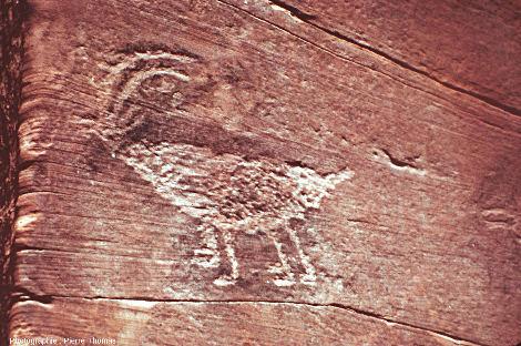 Gravure rupestre représentant une chèvre, gravée sur une paroi gréseuse de Betatakin, Arizona