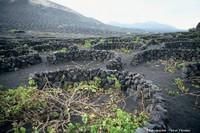 Les vignobles de Lanzarote (Canaries) et de Pico (Açores): deux exemples de vignes sur des volcans actifs