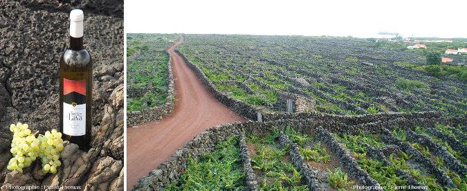 Paysage typique des vignes de la région de Criação Velha à l'Ouest de l'ile de Pico aux Açores