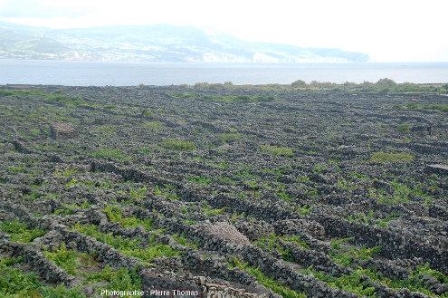 Paysage typique des vignes de la région de Criação Velha à l'Ouest de l'ile de Pico aux Açores, avec ses murs de pierres sèches, constitués de blocs de basalte