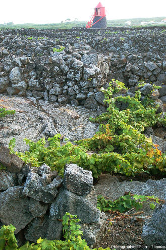 Détail du fond d'un currais (petits enclos bordés de mur de pierres sèches) totalement dépourvu de sol, ile de Pico, Açores