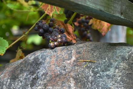 Grappe de raisin rouge posée sur un bloc d'éclogite, vignoble de Donnas, Vallée d'Aoste, Italie
