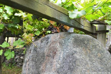 Vigne et un bloc d'éclogite, vignoble de Donnas, Vallée d'Aoste, Italie