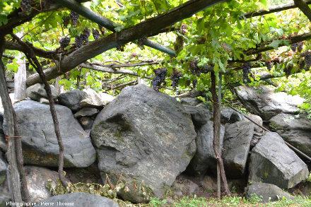 Vigne et bloc d'éclogite (on devine l'association grenat-glaucophane) très folié, Vallée d'Aoste, Italie