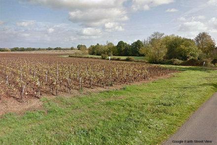 Vigne de Muscadet (cépage melon de Bourgogne) implantée sur l'affleurement de la Compointrie (Loire Atlantique)