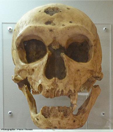 Moulage du crâne de l'Homme de la Chapelle-aux-Saints, vu de face