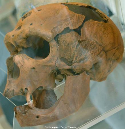 Autre moulage du crâne de l'Homme de la Chapelle-aux-Saints, vu de profil