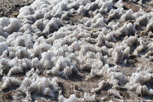 """Dépôts de sels exondés ayant cristallisé autour de tiges de """"jonc"""""""